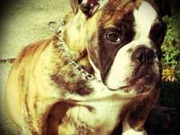 I selling a lovely female english bulldog she is very