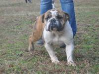 Female English Bulldog for sale to an approved home