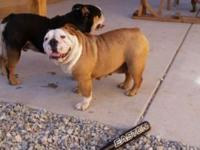 English bulldog 3 years old akc no health issues trying