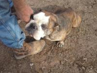 We have a female English Bulldog for sale. She just