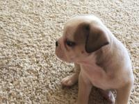 I have an female English bulldog for sale. She's