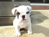 Our Female English bulldog puppy is healthy and ready