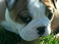 Fawn, white & chocolate English Bulldog puppy. Dew