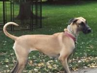 Great Dane. AKC registered with papers. She is a