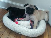 Purebred beautiful 5 month old fawn female pug puppy.