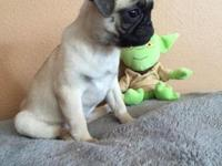 Full breed Female Fawn Pug puppy. She is 2 mos old. She