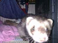 Looking to sell 3 yr old descented ferret with large
