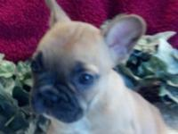 Hi my name is Carly. I am a AKC blue fawn Frenchie. I