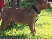 french mastiff female for sale she is not fixed and she