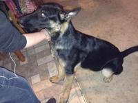 Becca is an 8 month old Female German Shepherd. She is