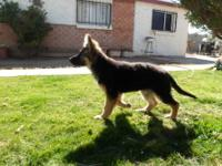 Female German Shepherd Puppy 15 weeks old, Potty and