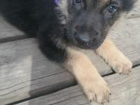 Female German Shepherd puppies, family raised in our