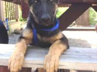 Dessa is a confident, black/tan 16 week old German