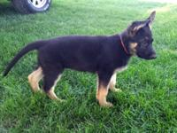 I have 1 German Shepherd puppy left. Born April 12,