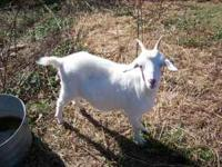female goat for sale $100 or obo if interested give me