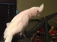 This is a female cockatoo that we have had for a few