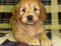 Daisy is a darling female golden retriever and poodle/