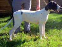 // FEMALE GREAT DANES for Sale //// -----AMAZING