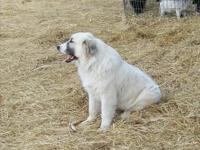 Female Great Pyrenees ... will be one years of age in