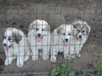 Purebred Great Pyrenees puppies whelped 04/06/15,