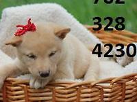 feMale green eyed/Registered shiba inu girl   8 weeks