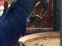 Hand feed Hyacinth Macaw parrot Quality Hand feed