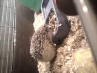 I have a 1.5 year old female hedgehog. She will come