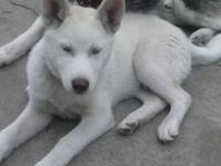 I have a grey female siberian husky with two blue eyes
