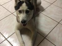 4 yr old husky $500 not fixed , up to date on shot and