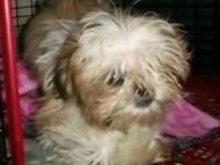 I have a beautiful little female Imperial Shih Tzu that