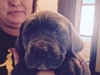 Italian Mastiff young puppy, born on December 27, 2014.