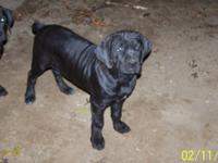 Adorable playful female puppy ready now, Born July 26,