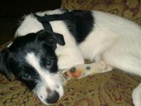 Female Jack Russell Terrier 3.5mos old. Only serious