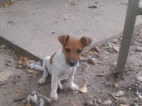 1 female jack Russell puppy for sale. Tail is docked,