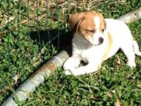 have a female jack Russell young puppy who was born