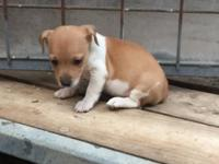 Female Jack Russell Terrier puppy available now for her
