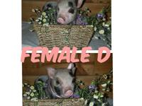 I have two female mini piglets for sale. They will be