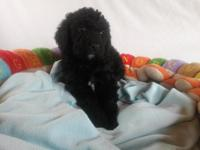 Standard Labradoodle Puppies born March 28th ~Multi