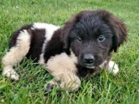 Female lanseer newfie puppy available and ready to go.