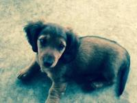 I have one female miniature dachshund long hair pup