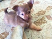 Here is a very cute female longhaired Chihuahua she has