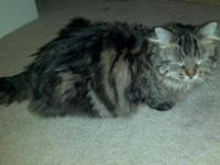 5 year old female Maine Coon mix to good home. She?s