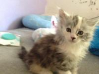 Cfa registered Maine coon kitten. Female. She's a