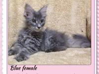 Call Of The Wild Maine Coons is offering some beautiful