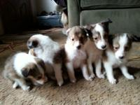 I have 2 female 3 male sheltie puppies ready for