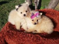 :fFemales and males Pomeranain Puppies 8 weeks