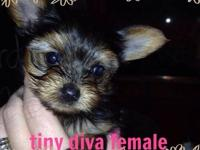 Pic #1-Cute female yorkie, 3.5 months old, crate and