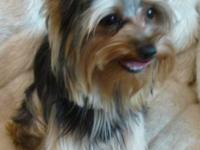 Pic #1-Cute male yorkie, DOB 11/18/13, crate and potty