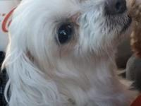 2 Female unspayed maltese acquired from akc breeder. 3