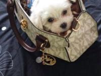 This beautiful Maltese puppy was bred by an AKC